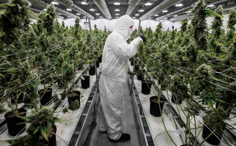 Como ser parte del mercado del Cannabis medicinal en Perú